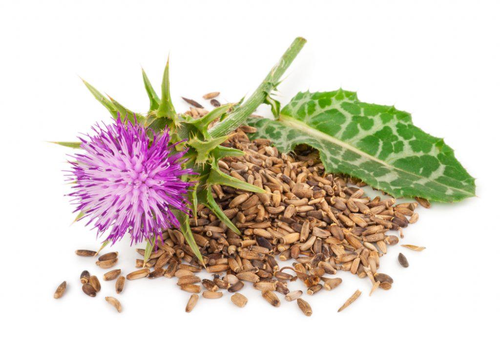 ostropestrec-mariansky-kvet-semeno